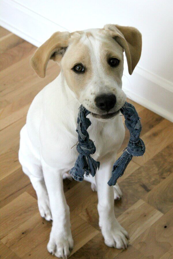 DIY Dog Toy that you can make in just 10 minutes! When this blogger came dangerously close to her new puppy ingesting stuffing from a ripped toy, she came up with this great solution! #shop #PedigreeMoments #CollectiveBias #ad