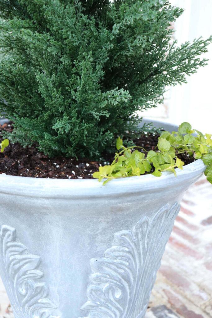 faux concrete planter with creeping jenny